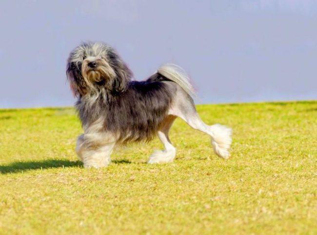 Малая львиная собака - одна из самых дорогих пород в мире