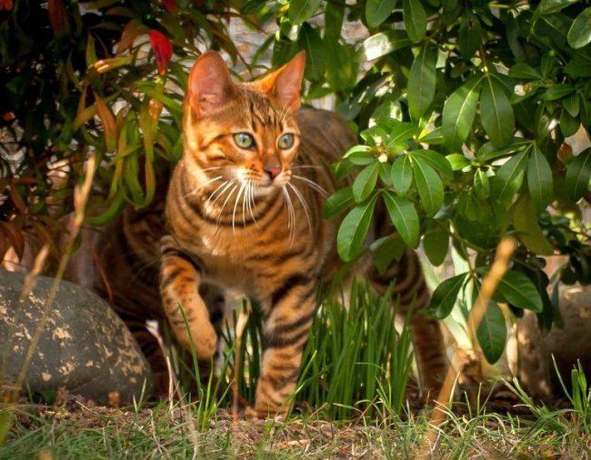 Внешний вид тойгера действительно соответствует названию породы, которое переводится как «игрушечный тигр» – он полосатый, довольно крупный и тяжелый