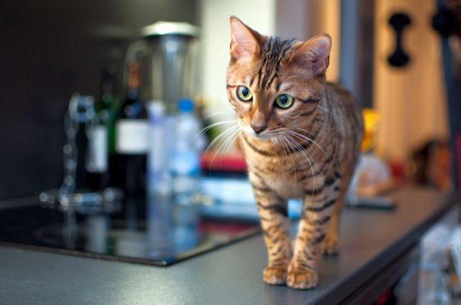 Котенок тойгера - тигр в миниатюре