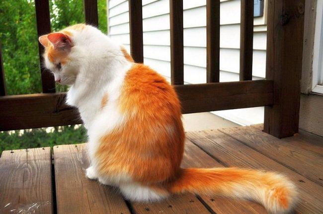 Турецкий ван - очень редкая порода кошек
