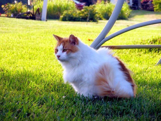 Умная и энергичная кошка турецкий ван