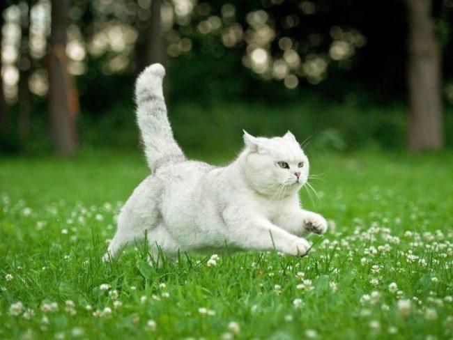 Летающая британская белая кошка