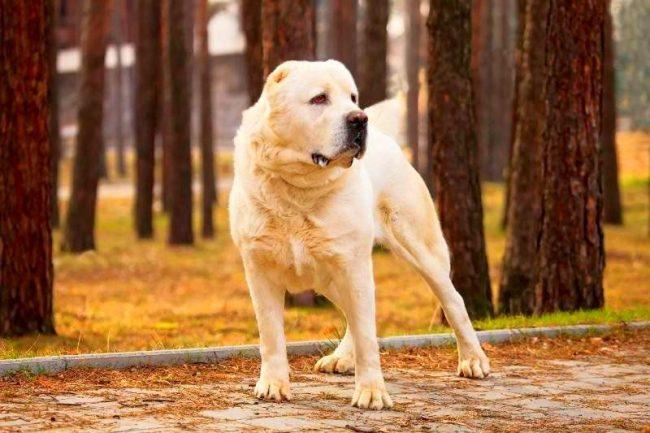 Сила алабая требует хорошей дисциплины. Пес очень умен, поэтому, при грамотном воспитании, можно вырастить доброго богатыря, адекватно реагирующего на других собак и людей