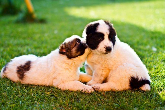 Генетически алабай не может дружелюбно относиться к другим собакам. Это несложно исправить, если с раннего возраста социализировать пса, позволяя ему играть и общаться с его собратьями