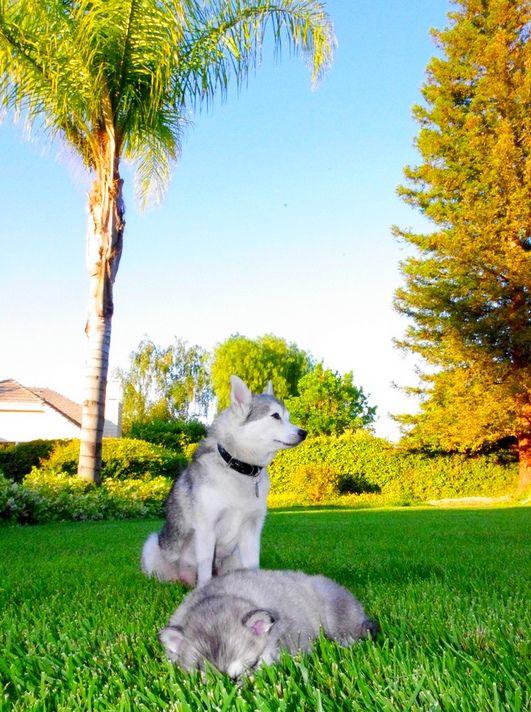 Собака с трудом переносит одиночество, поэтому ее нельзя заводить тем, кто на день уходит из дома на работу или учебу
