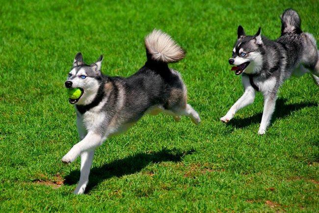 Шустрый, веселый, кли-кай обожает подвижные игры, любит порезвиться на улице, не отказывается и от долгих прогулок на природе