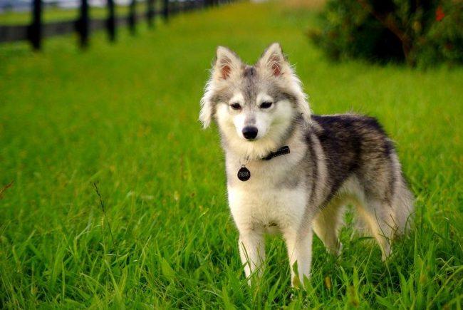 Маленькая копия легендарной хаски, аляскинский кли-кай умиляет своим внешним обликом и веселым характером. Это очень общительная, игривая и сообразительная собака. Он идеально уживается со всеми членами семьи, быстро превращаясь во всеобщего любимца