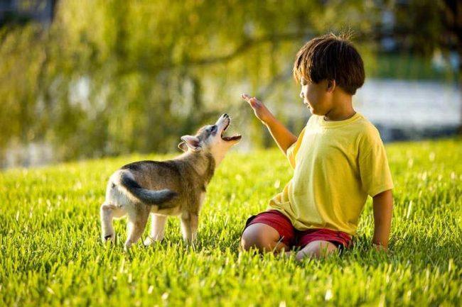 Аляскинский кли-кай безупречен в общении с детьми, и никогда не допускает агрессии по отношению к ним