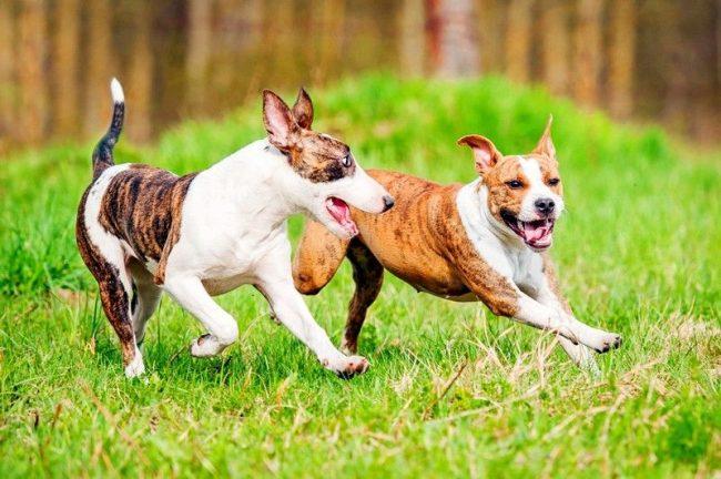 Бойцовские собаки пугают своей грозной внешностью и покоряют добрым сердцем
