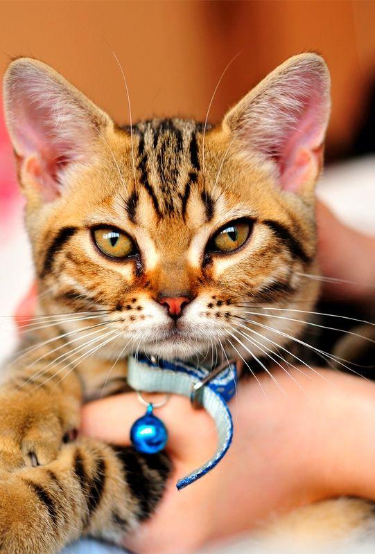 Американская короткошерстная кошка приковывает взгляды окружающих к своему необычайному окрасу и мощной конституции. Пожалуй, главным недостатком породы является лень. Но, с другой стороны, на то это и кошка, чтобы возлежать на диване и радовать хозяев