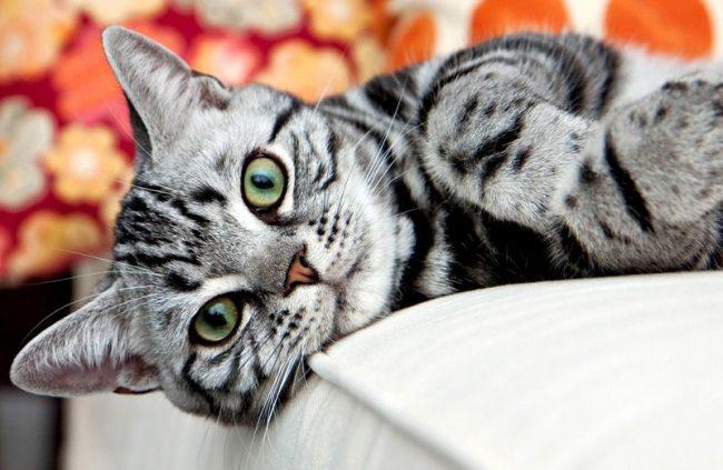 Кошка хорошо адаптируется к любым условиям жизни, будь то крошечная городская квартира, или просторный загородный дом