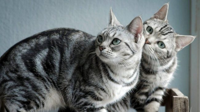 Американская короткошерстная кошка очень любит людей, животных. Они быстро заводят дружбу с детьми и терпимы к другим домашним животным