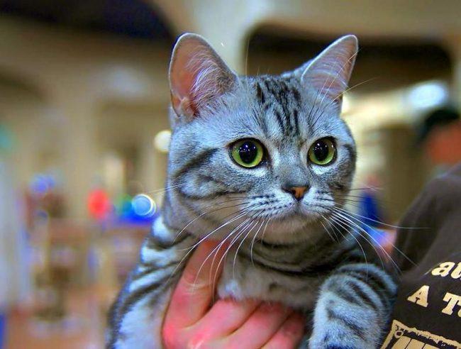 Поскольку американская короткошерстная кошка склонна к ожирению, ей показаны занятия спортом и частые прогулки