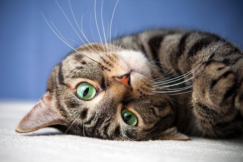 породы американских кошек