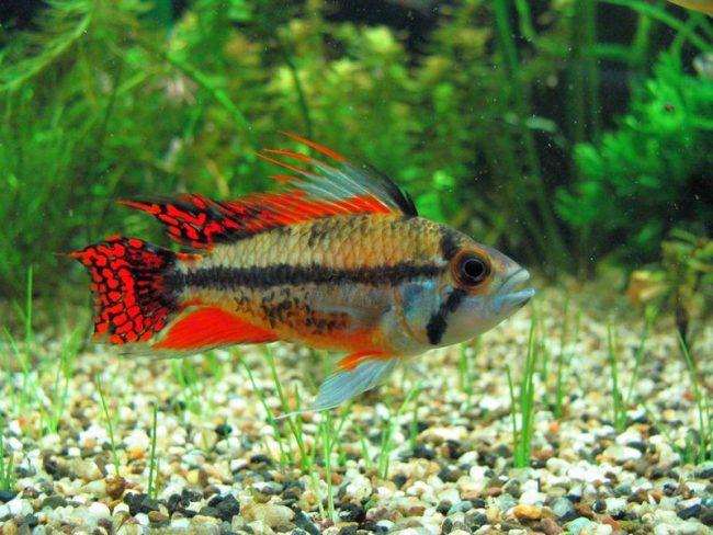 Апистограмма какаду - маленькая хищница. Это нужно иметь ввиду, помещая ее в один аквариум с другими рыбами