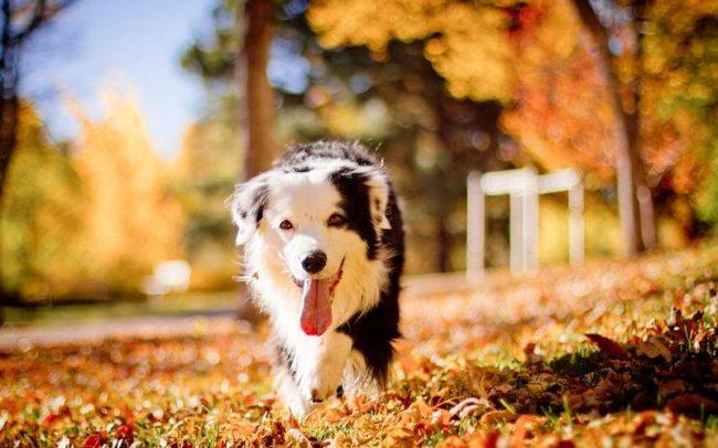 Важно со щенячьего возраста знакомить собаку с друзьями и членами семьи. Собака этой породы не переносит одиночества