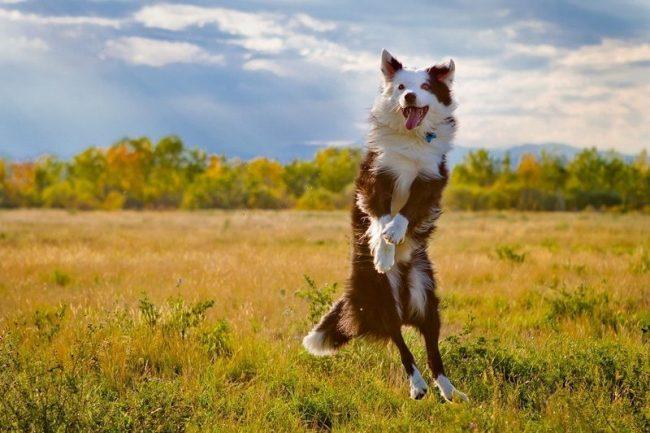 Австралийская овчарка, купить которую вы решили в качестве друга семьи, будет требовать активных тренировок со спортивными снарядами, частые дрессировки, интересное времяпровождение