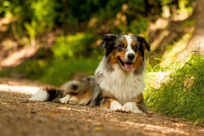 Австралийская овчарка – одна из самых открытых и дружелюбных пород в мире. Она легко находит общий язык с другими собаками и животными, хорошо ведет себя на выставках
