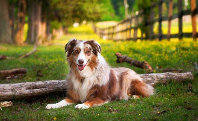 Если вы содержите австралийскую собаку в собственном доме, не стоит ограничивать ее прогулки небольшим вольером или по двору, ей необходимы большие территории