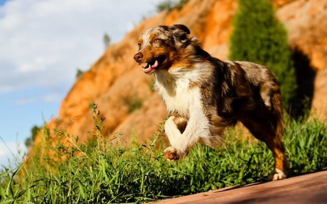 Родиной породы считается Америка, где она была выведена скрещиванием нескольких видов колли и пиренейской овчарки