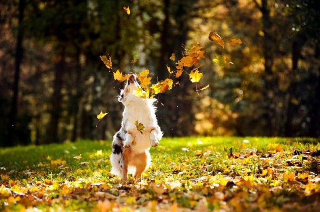 Австралийская овчарка имеет шерсть средней длины, и поэтому нуждается в регулярном расчесывании (не менее 2-4 раз в неделю). В период линьки собаку необходимо расчесывать каждый день, иначе ее «шубка» будет сбиваться в колтуны