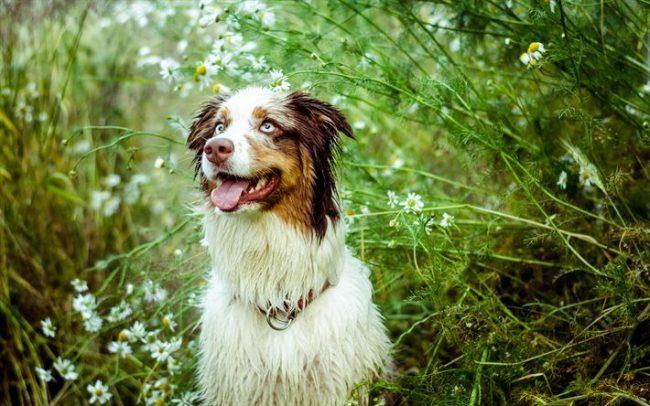 Щенок австралийской овчарки нуждается в более длительном выгуле, чем взрослая собака