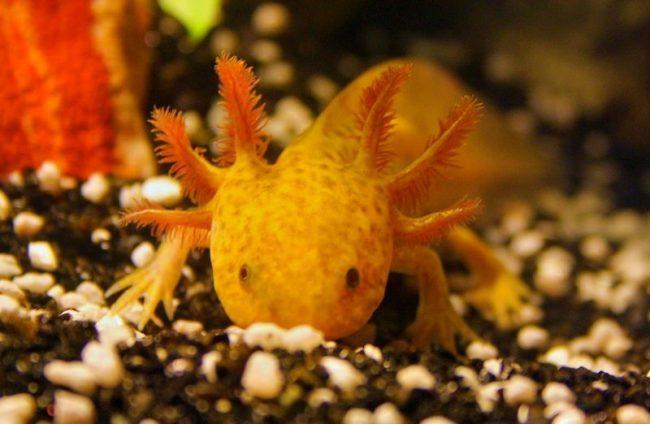 Аксолотль - забавное живое существо, которое украсит ваш аквариум