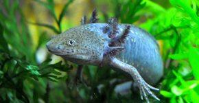 Axolotl_02