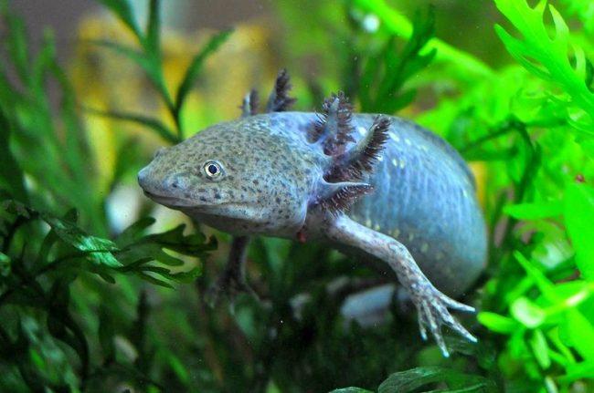 Сложно найти обитателя аквариума, вызывающего столько же споров, как аксолотль. Как его только ни называли: водный монстр, водяной дракон, саламандра и даже водяная собака. На самом деле его название с ацтекского переводится как «водяная игрушка»