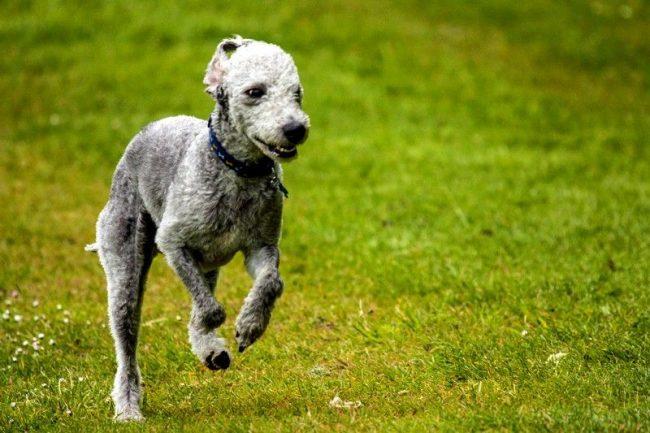 Бедлингтон-терьер - выносливая порода с умеренным уровнем активности. Собака способна бегать на высоких скоростях, желательно на надежно огороженной территории