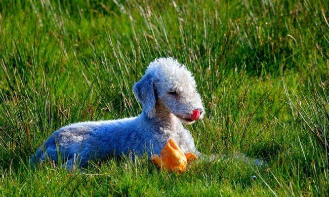 Желаете иметь здоровую собаку, не покупайте щенка с рук. Найдите авторитетный питомник бедлингтон-терьеров, где профессионально разводят собак и можно убедиться, что они свободны от генетических заболеванийЖелаете иметь здоровую собаку, не покупайте щенка с рук. Найдите авторитетный питомник бедлингтон-терьеров, где профессионально разводят собак и можно убедиться, что они свободны от генетических заболеваний