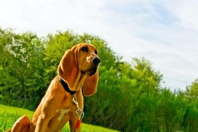 """Бладхаунд очень любит """"разговаривать"""", это одна из самых общительный собак. Она будет рада, если вы обратитесь к ней за советом"""