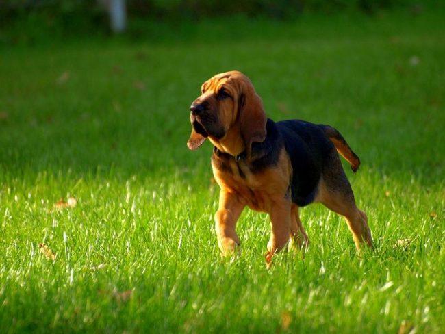 Держать бладхаунда лучше в загородном доме, этот пес любит побегать и нуждается в достаточном количестве физических нагрузок. Бладхаунд весьма вынослив, он может часами идти по следу