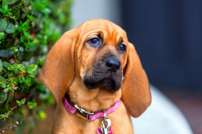 Бладхаунд - это верный и преданный пес, считающий служение своему хозяину высшей ценностью