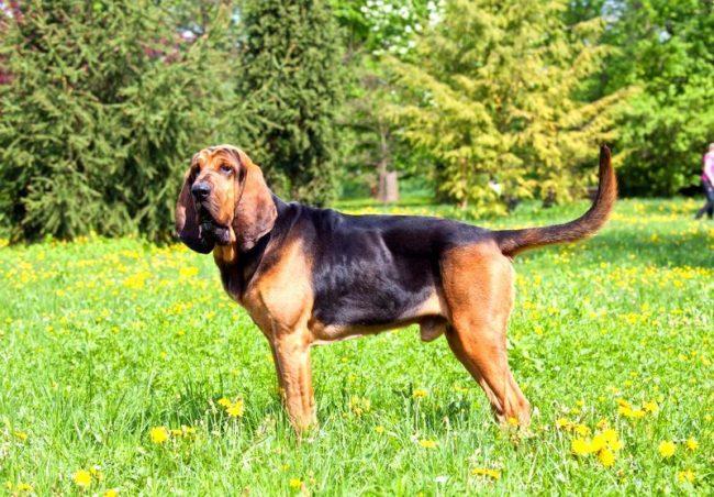Бладхаунд - благородный пес, знающий, что такое мужество и трудолюбие