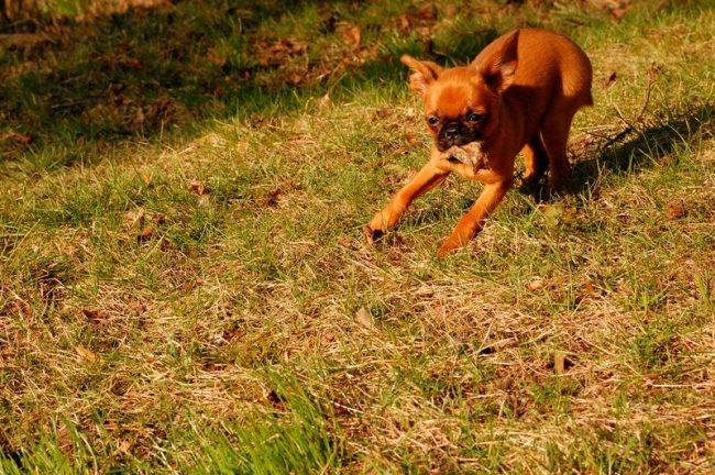 Пти-брабансон обладает дурной привычкой поднимать все с земли. От этого его нужно отучать с детства