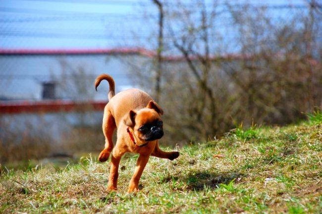 Не стоит лишать брабансона возможности гулять на свежем воздухе. Псу необходимо выплеснуть накопившуюся энергию, порезвиться на травке, и самое главное – пообщаться с другими собаками