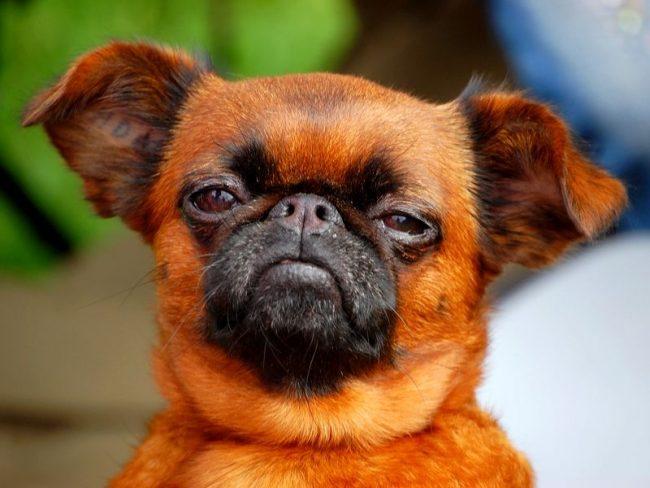 Бельгийская собака хорошо поддается дрессировке и в дальнейшем может похвастаться завидным воспитанием. Считается, что ее развитие равно интеллекту трехлетнего ребенка