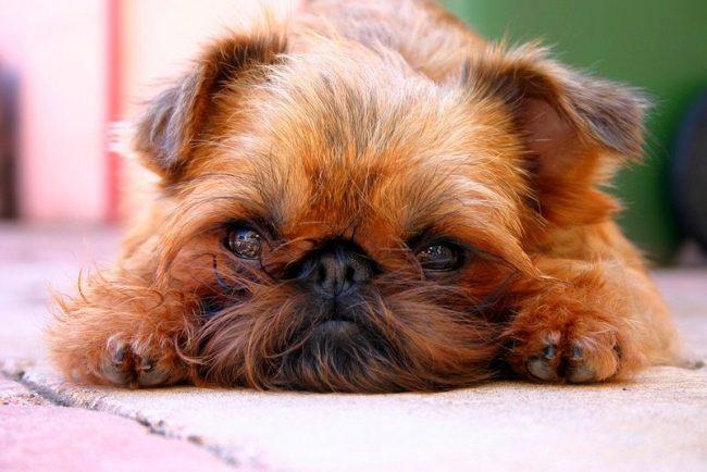 Чтобы воспитать собаку, достойную побед на различных выставках и соревнованиях, нужно заниматься с ней с самого детства. Уделяйте дрессировке несколько часов в день, будьте настойчивы, но и не забывайте о похвале