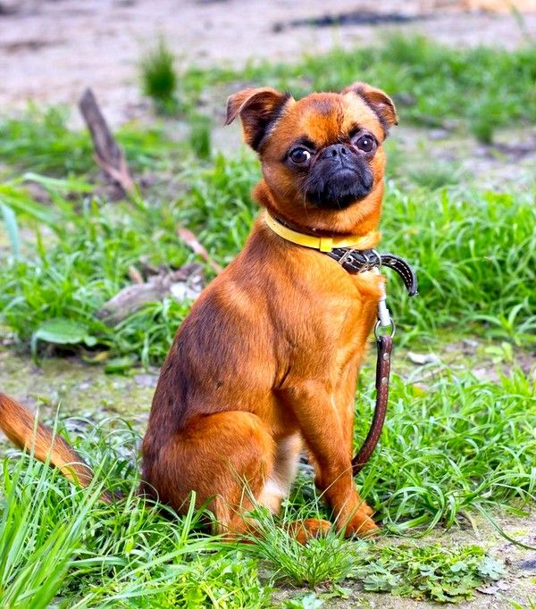 Собаке пти-брабансон не характерна агрессия, она не будет без повода кидаться на прохожих, пес обладает уравновешенной психикой