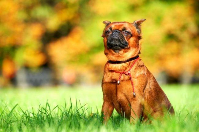 Любителям мелких пород собак известна такая черта характера, как чувство собственного достоинства песика. Так и пти-брабансон своим поведением, походкой, взглядом говорит о том, что собака о себе высокого мнения