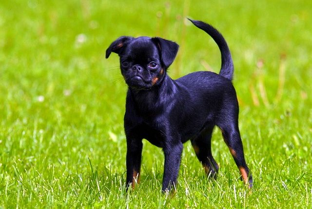 Выбирайте здоровых и активных щенков пти-брабансона