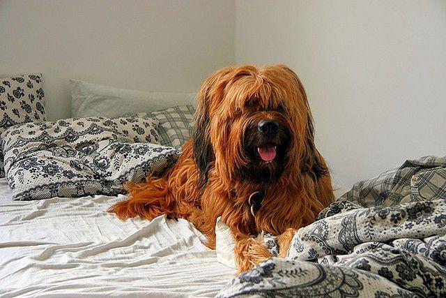 Содержание такого животного в квартире будет трудным не только для хозяина, но и для самой собаки - в таких условиях бриар просто зачахнет, не имя возможности выплеснуть свой огромный потенциал энергии
