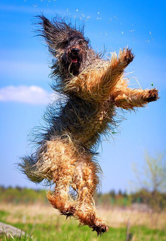 Собаки породы бриар нуждаются в регулярных физических нагрузках, они любят побегать и поиграть