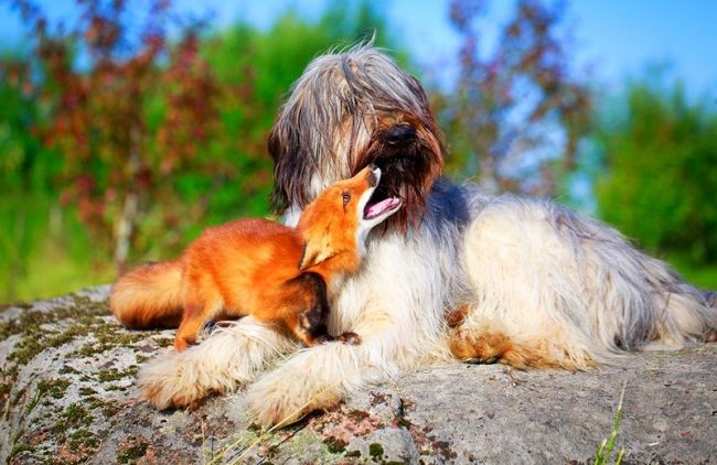 Овчарка бриар была выведена в качестве пастушьей породы и в течение столетий прекрасно справлялась со своим предназначением. Однако в настоящее время собак этой породы заводят в качестве любимого домашнего питомца, друга для всей семьи, участника в выставках и собачьем спорте