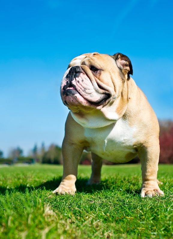 Английский бульдог – собака со спокойным и флегматичным характером, а многочисленные складки на морде создают впечатление задумчивости