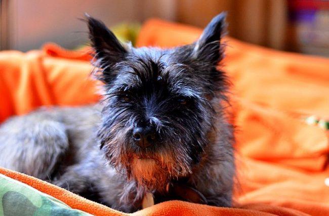 Помимо собаки-компаньона, керн-терьер может быть использован в поисково-спасательных операциях, охоте и охране