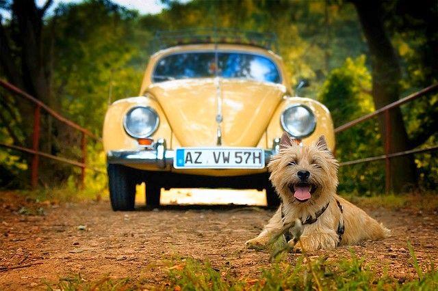 Если вы мечтаете о смышленой и энергичной собаке, то порода керн-терьер – это хороший выбор. Он будет радостно встречать хозяев у двери и весело носиться по двору