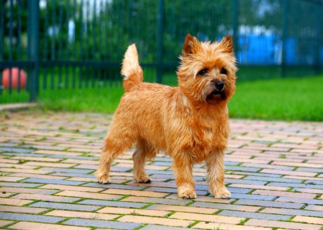 Порода керн-терьер хорошо поддается дрессуре и воспитанию. Собаки чутко реагируют на умственную и физическую стимуляцию. Им достаточно лишь похвалы