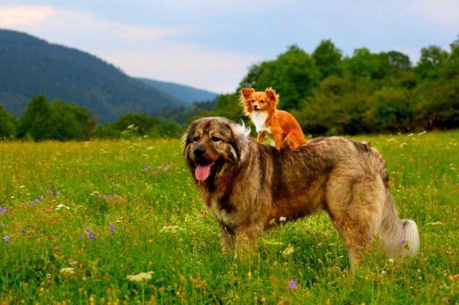 Бойцовские собаки могут прекрасно ладить со своими меньшими братьями